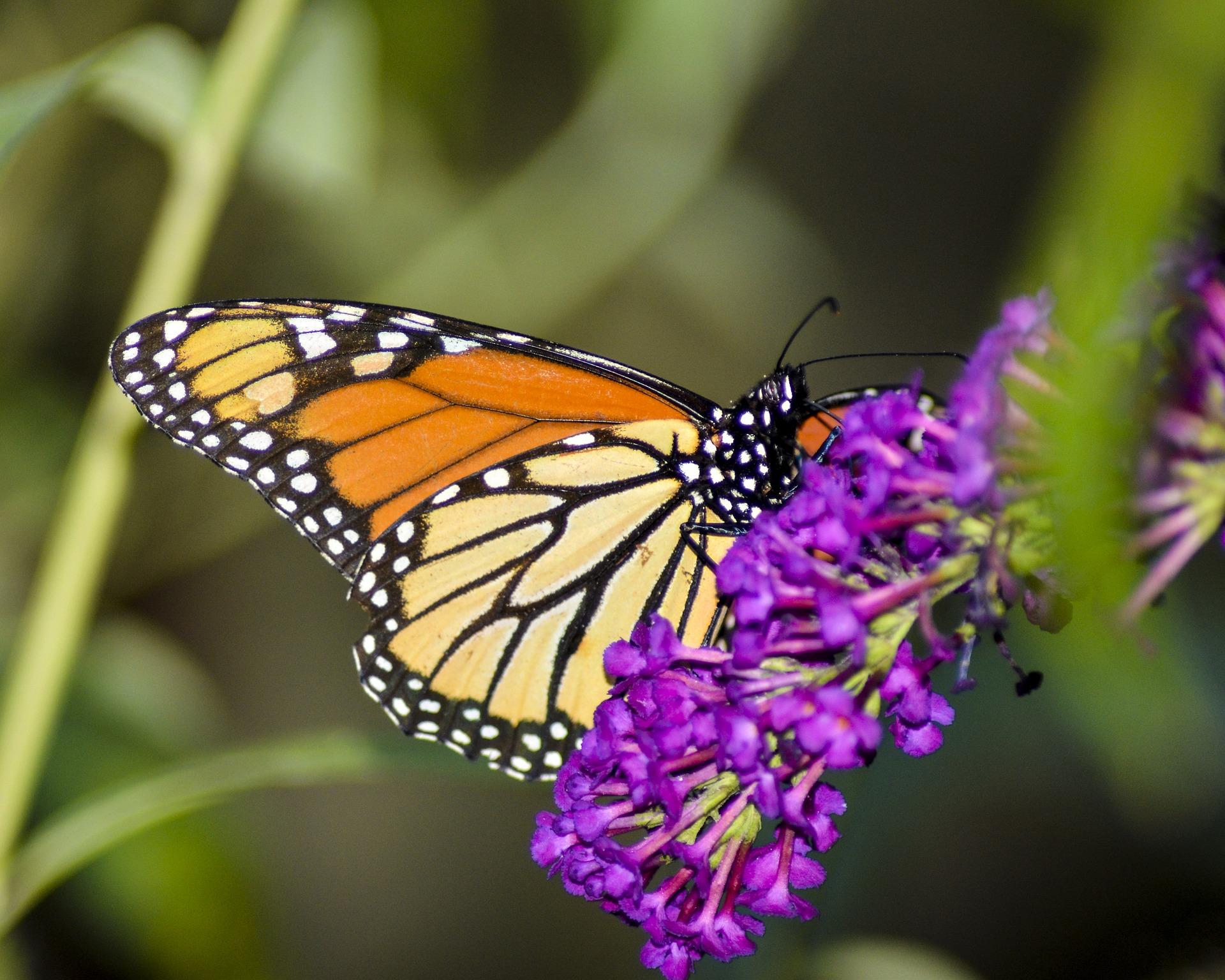 City Challenge: Set Up A Monarch Butterfly Garden
